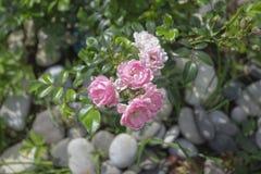 令人愉快的桃红色floribunda玫瑰丛神仙 库存照片