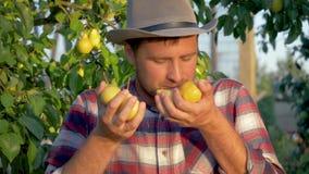 人手成熟梨的农夫藏品和吸入他们的在果树园的芬芳 股票录像
