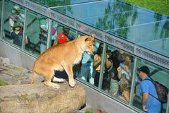 人手表狮子 免版税库存图片