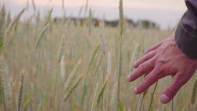 人手跑的去的麦田 男性黑麦特写镜头的手感人的耳朵 农夫 收获概念 慢的行动 股票视频