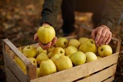 人投入黄色成熟金黄苹果到一个木箱黄色在果树园农场 收获在庭院里和拿着器官的种植者 库存照片