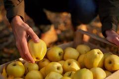 人投入黄色成熟金黄苹果到一个木箱黄色在果树园农场 收获在庭院里和拿着器官的种植者 免版税图库摄影