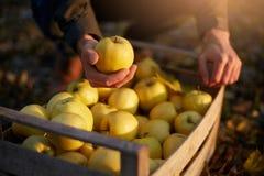 人投入黄色成熟金黄苹果到一个木箱黄色在果树园农场 收获在庭院里的种植者和 免版税库存图片