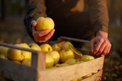 人投入黄色成熟金黄苹果到一个木箱黄色在果树园农场 收获在庭院里的种植者和 库存照片