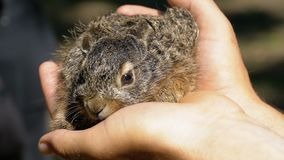 人拿着一个小狂放的蓬松婴孩兔宝宝 在棕榈的一点兔宝宝 慢的行动 股票视频