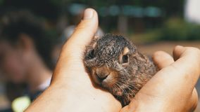 人拿着一个小狂放的蓬松婴孩兔宝宝 在棕榈的一点兔宝宝 影视素材