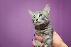 人拿着一只逗人喜爱的灰色小猫 免版税图库摄影