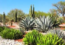 仙人掌、龙舌兰和多汁植物,图拉de亚伦得,墨西哥庭院  库存照片