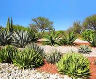 仙人掌、龙舌兰和多汁植物,图拉de亚伦得,墨西哥庭院  库存图片