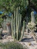 仙人掌品种,棕榈Desert 免版税图库摄影