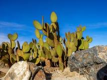 仙人掌品种,棕榈Desert 免版税库存照片