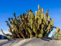 仙人掌品种,棕榈Desert 图库摄影