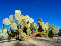仙人掌品种,棕榈Desert 库存图片