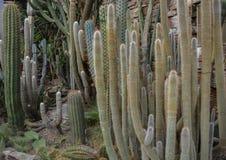 仙人掌在一个植物园里 免版税库存照片