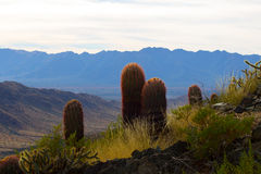仙人掌在亚利桑那 图库摄影