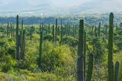 仙人掌在墨西哥 图库摄影