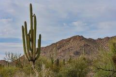 仙人掌在巨人柱国家公园 免版税库存图片