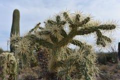 仙人掌在巨人柱国家公园 免版税库存照片