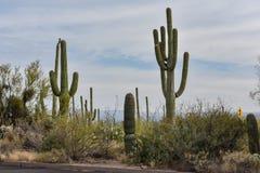 仙人掌在巨人柱国家公园 库存照片