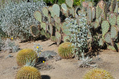 仙人掌在沙漠 免版税库存照片