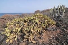 仙人掌在沙漠 图库摄影