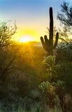 仙人掌在沙漠 免版税图库摄影