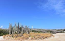 仙人掌大群在北海岸的Noord阿鲁巴 图库摄影