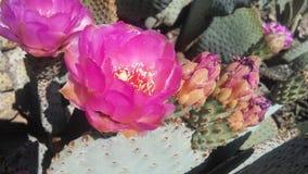 仙人掌开花在沙漠的Basilaris仙人掌在明亮的阳光下在春天在菲尼斯,亚利桑那 免版税库存照片