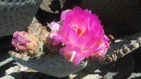 仙人掌开花在沙漠的Basilaris仙人掌在明亮的阳光下在春天在菲尼斯,亚利桑那 库存图片