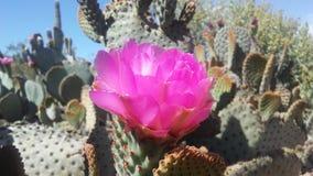仙人掌开花在沙漠的Basilaris仙人掌在明亮的阳光下在春天在菲尼斯,亚利桑那 图库摄影