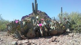 仙人掌开花在沙漠的Basilaris仙人掌在明亮的阳光下在春天在菲尼斯,亚利桑那 库存照片