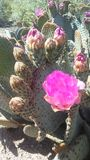 仙人掌开花在沙漠的Basilaris仙人掌在明亮的阳光下在春天在菲尼斯,亚利桑那 免版税图库摄影