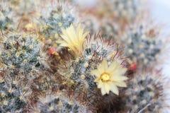 仙人掌开花的Mammilyariya扩散 免版税库存图片