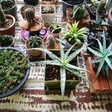 仙人掌微型植物  库存图片