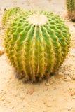 仙人掌接近的echinocactus grusonii加满视图 库存照片