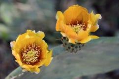 仙人掌春天开花 库存图片