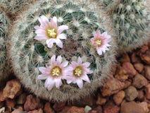 仙人掌有一朵花 免版税库存图片
