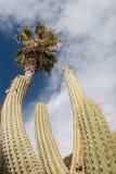 仙人掌树在夏天 免版税库存照片