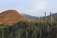 仙人掌森林在墨西哥 免版税库存照片
