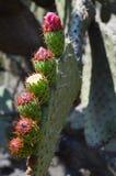 仙人掌植物在墨西哥沙漠 免版税库存照片