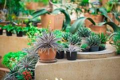 仙人掌植物在自然庭院里。 库存图片