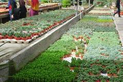 仙人掌植物托儿所在喀麦隆高地马来西亚 库存照片