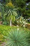 仙人掌植物龙舌兰和丝兰 库存照片