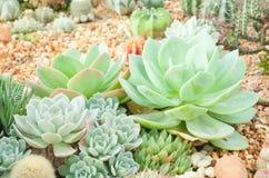 仙人掌沙漠植物 免版税图库摄影