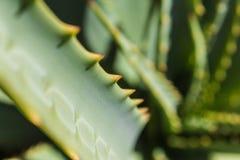 仙人掌特写镜头-绿色龙舌兰宏指令 图库摄影