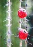 仙人掌用红色莓果 免版税库存照片