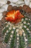 仙人掌的开花 库存照片