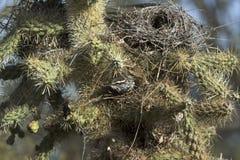 仙人掌鹪鹩巢在Cholla 库存图片