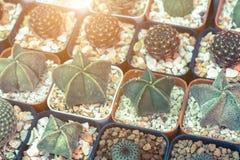 仙人掌,在塑料罐的多汁植物在树市场上 库存图片