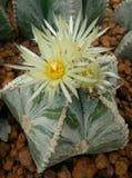 仙人掌, Astrophytum asterias 图库摄影